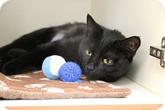 Domestic Shorthair Cat for adoption in Gloucester, Massachusetts - Shadow