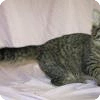 Domestic Mediumhair Cat for adoption in Powell, Ohio - Trixie