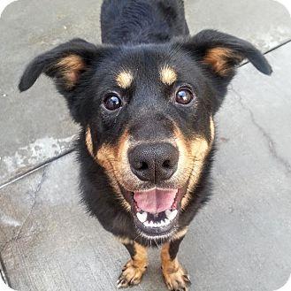 Australian Shepherd/German Shepherd Dog Mix Puppy for adoption in Chicago, Illinois - Larry*ADOPTED!*