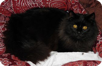 Maine Coon Cat for adoption in Lisbon, Ohio - Starsky - ADOPTED!