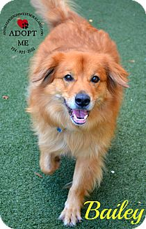 Golden Retriever Mix Dog for adoption in Youngwood, Pennsylvania - Bailey