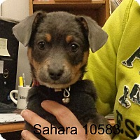 Adopt A Pet :: Sahara - Greencastle, NC