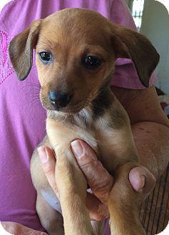 Dachshund Mix Puppy for adoption in Powder Springs, Georgia - Kit-Kat