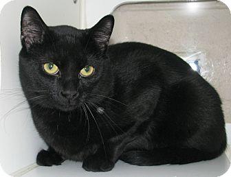 Domestic Shorthair Cat for adoption in New Kensington, Pennsylvania - Booky