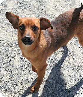 Chihuahua/Terrier (Unknown Type, Small) Mix Dog for adoption in Staunton, Virginia - Brody