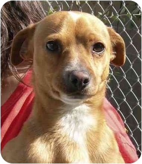 Chihuahua Mix Dog for adoption in El Segundo, California - Yankee