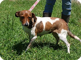 Terrier (Unknown Type, Small) Mix Dog for adoption in Oakdale, Louisiana - Piper