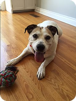 English Bulldog/Jack Russell Terrier Mix Dog for adoption in St. Catharines, Ontario - Doris