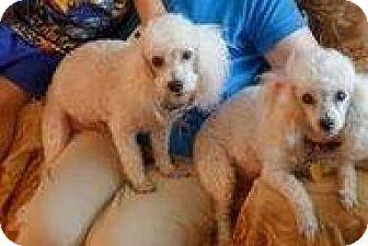 Poodle (Miniature) Mix Dog for adoption in Shawnee Mission, Kansas - Shrek and Fiona