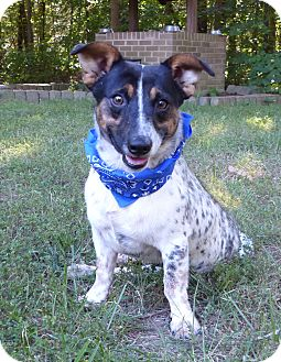 Cattle Dog/Terrier (Unknown Type, Small) Mix Dog for adoption in Mocksville, North Carolina - Gilmer