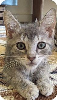 Domestic Shorthair Kitten for adoption in Philadelphia, Pennsylvania - Ralphie