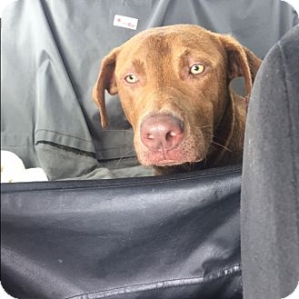 Labrador Retriever Mix Dog for adoption in Houston, Texas - Kevin