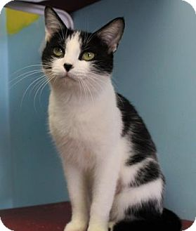 Domestic Shorthair Cat for adoption in West Des Moines, Iowa - Mirage