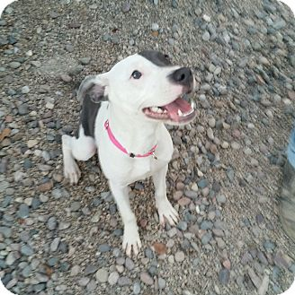 Staffordshire Bull Terrier Mix Puppy for adoption in Apache Junction, Arizona - Amore