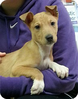 Terrier (Unknown Type, Medium) Mix Puppy for adoption in Pompton Lakes, New Jersey - rolly