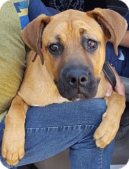 Boxer Mix Puppy for adoption in Canoga Park, California - Bailey