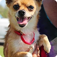 Adopt A Pet :: Little Bit- must be adopted with Minnie - Grass Valley, CA