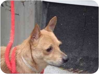 Cairn Terrier Mix Dog for adoption in Long Beach, New York - Brutus and Mario