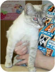 Siamese Cat for adoption in Murphysboro, Illinois - Maya
