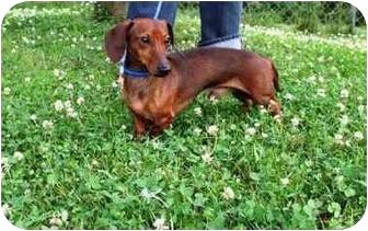 Dachshund Dog for adoption in Seneca, South Carolina - BUDDY