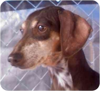 Dachshund Dog for adoption in Wilmington, Delaware - Sissy