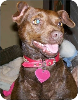 Patterdale Terrier (Fell Terrier)/Terrier (Unknown Type, Small) Mix Dog for adoption in Los Angeles, California - Sage