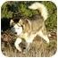 Photo 2 - Siberian Husky Dog for adoption in Santa Fe, New Mexico - Juno