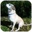 Photo 1 - Labrador Retriever Mix Dog for adoption in Newport Beach, California - SCHUYLER