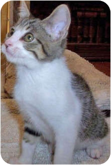 Domestic Shorthair Kitten for adoption in Mt. Prospect, Illinois - Hunter