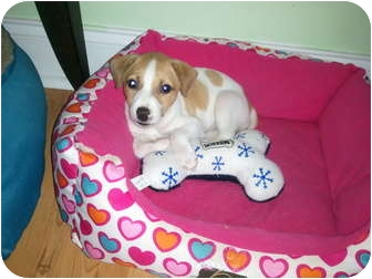 Jack Russell Terrier Mix Puppy for adoption in Bel Air, Maryland - Summer