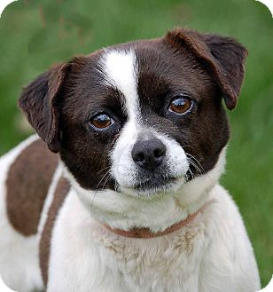 Pug/Chihuahua Mix Dog for adoption in Mora, Minnesota - Puppy