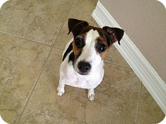 Jack Russell Terrier Dog for adoption in Houston, Texas - Raven in Houston