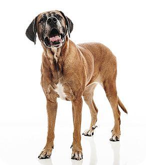 Mastiff/Rhodesian Ridgeback Mix Dog for adoption in Broomfield, Colorado - Teddi