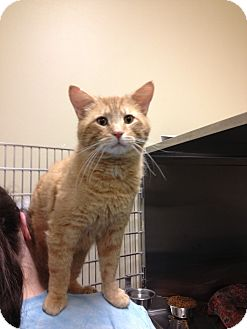 Domestic Shorthair Cat for adoption in Pittstown, New Jersey - Red