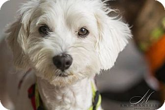 Havanese Mix Dog for adoption in Vista, California - Max