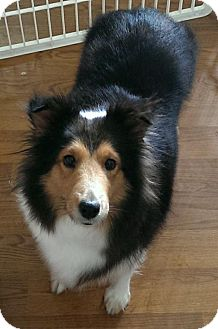 Sheltie, Shetland Sheepdog Dog for adoption in Abingdon, Maryland - Shelby - PENDING