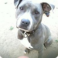Adopt A Pet :: Blue - Lapeer, MI