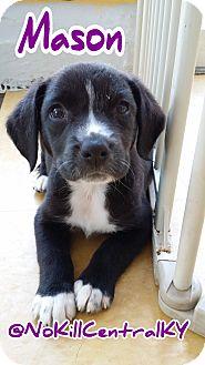 Border Collie/Labrador Retriever Mix Puppy for adoption in Lancaster, Kentucky - Mason