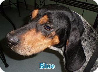 Bluetick Coonhound Mix Dog for adoption in Georgetown, South Carolina - Blue