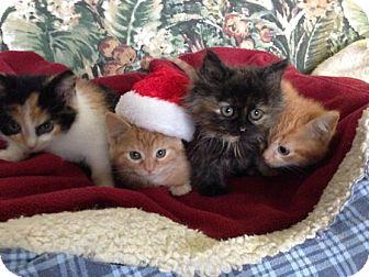 Domestic Shorthair Kitten for adoption in Toledo, Ohio - Acorn