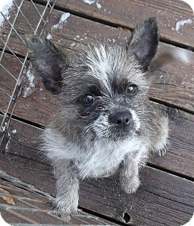 Boston Terrier/Yorkie, Yorkshire Terrier Mix Puppy for adoption in moscow mills, Missouri - Liesl ADOPTED!