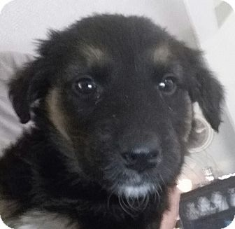 Australian Shepherd Mix Puppy for adoption in Winchester, California - Bella