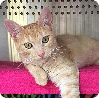 Domestic Shorthair Cat for adoption in Mansfield, Texas - Layna