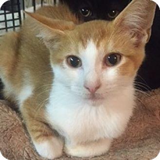 American Shorthair Kitten for adoption in Forest Hills, New York - Sunshine