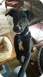 Labrador Retriever Mix Puppy for adoption in Olympia, Washington - Kiwi