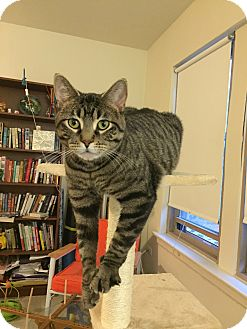 Domestic Shorthair Cat for adoption in Chicago, Illinois - Chad