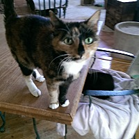 Calico Cat for adoption in Naples, Florida - Skye