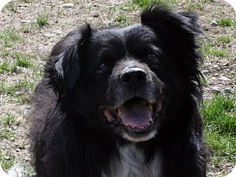 Australian Shepherd/Border Collie Mix Dog for adoption in Republic, Washington - Max