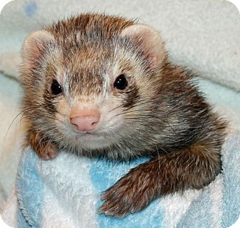 Ferret for adoption in Indianapolis, Indiana - Noodles