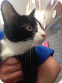 Domestic Shorthair Kitten for adoption in Reisterstown, Maryland - Skye